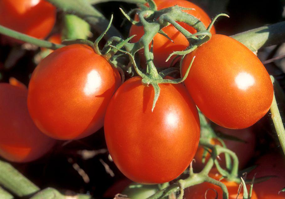 tomato-stock-image